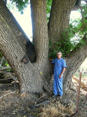 bastogne walnut tree